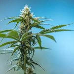 ▷ Online Montreal Legal Weed | CA